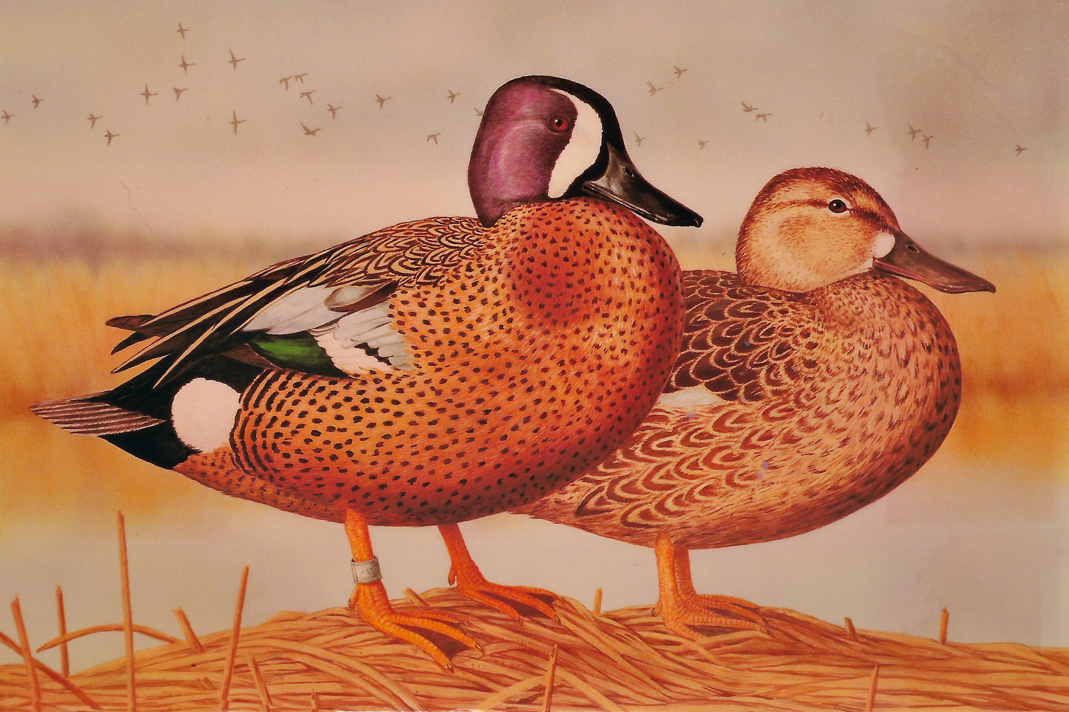 BLUE-WINGED TEAL<br>Click to Return